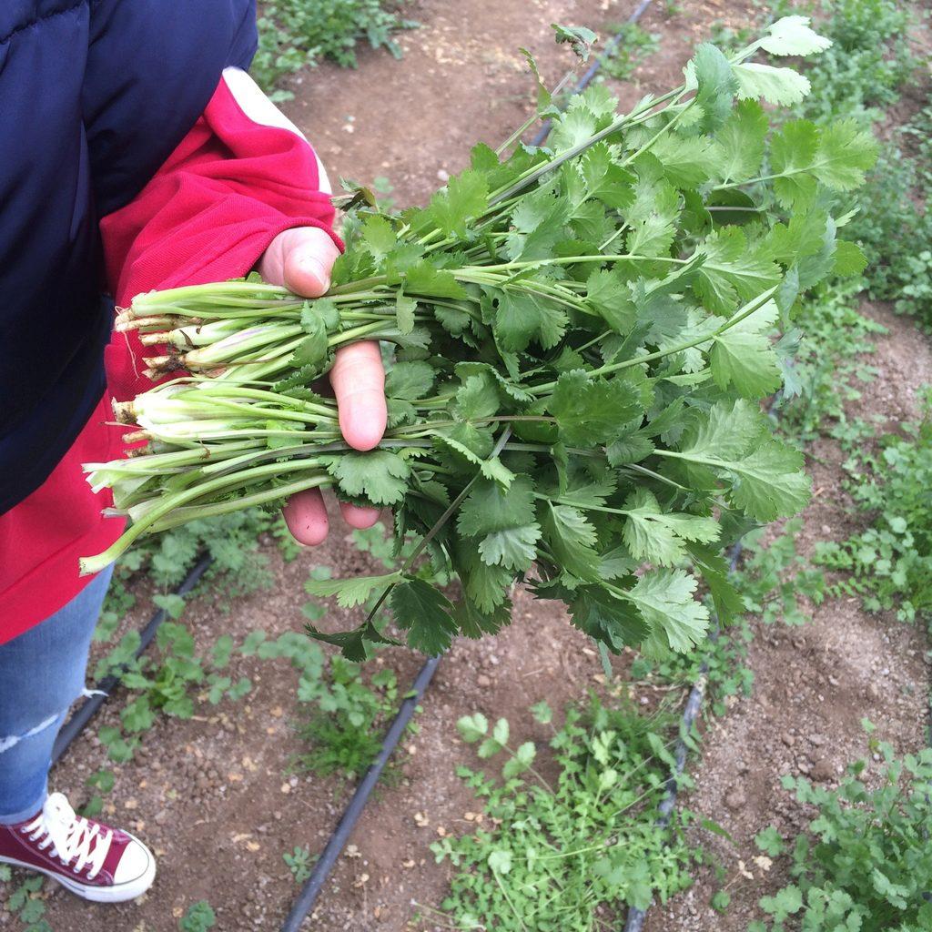 Как вырастить кориандр в огороде и открытом грунте, как и 26
